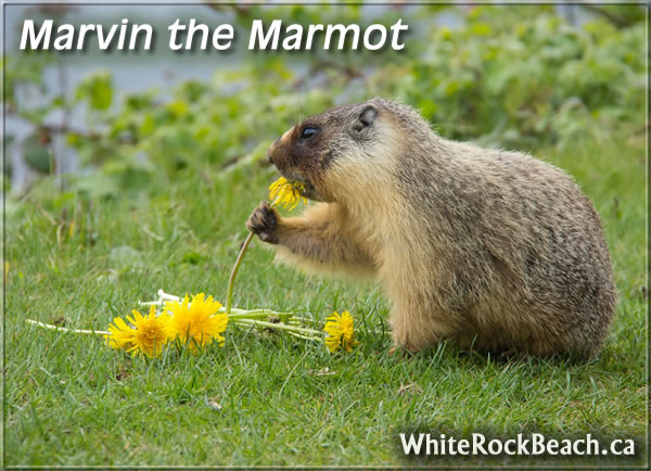 https://whiterockbeach.ca/wp-content/uploads/2012/04/marvin-the-marot-april-18-2012.jpg